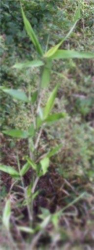 Feng Shui - Bamboo